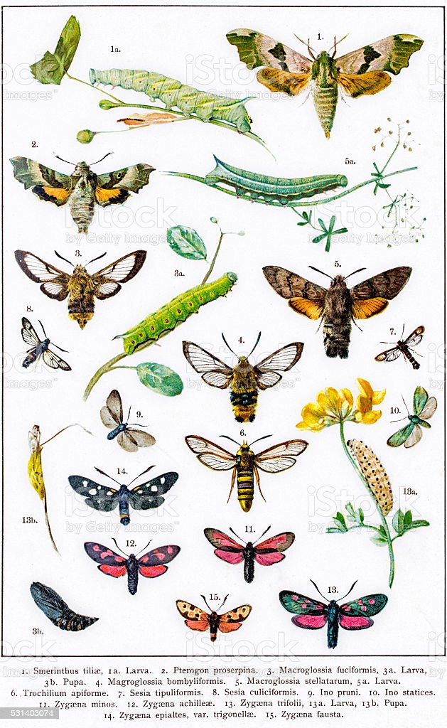 Hawkmoths Sphingids and other moths of Europe vector art illustration