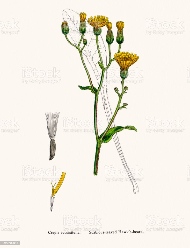 Hawksbeard plant 19th century illustration vector art illustration