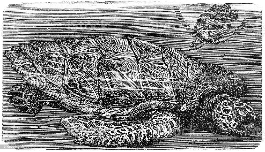 hawksbill sea turtle (Eretmochelys imbricata) vector art illustration