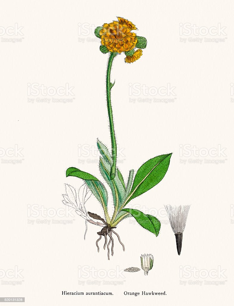 Hawkweed chicory plant 19th century illustration vector art illustration