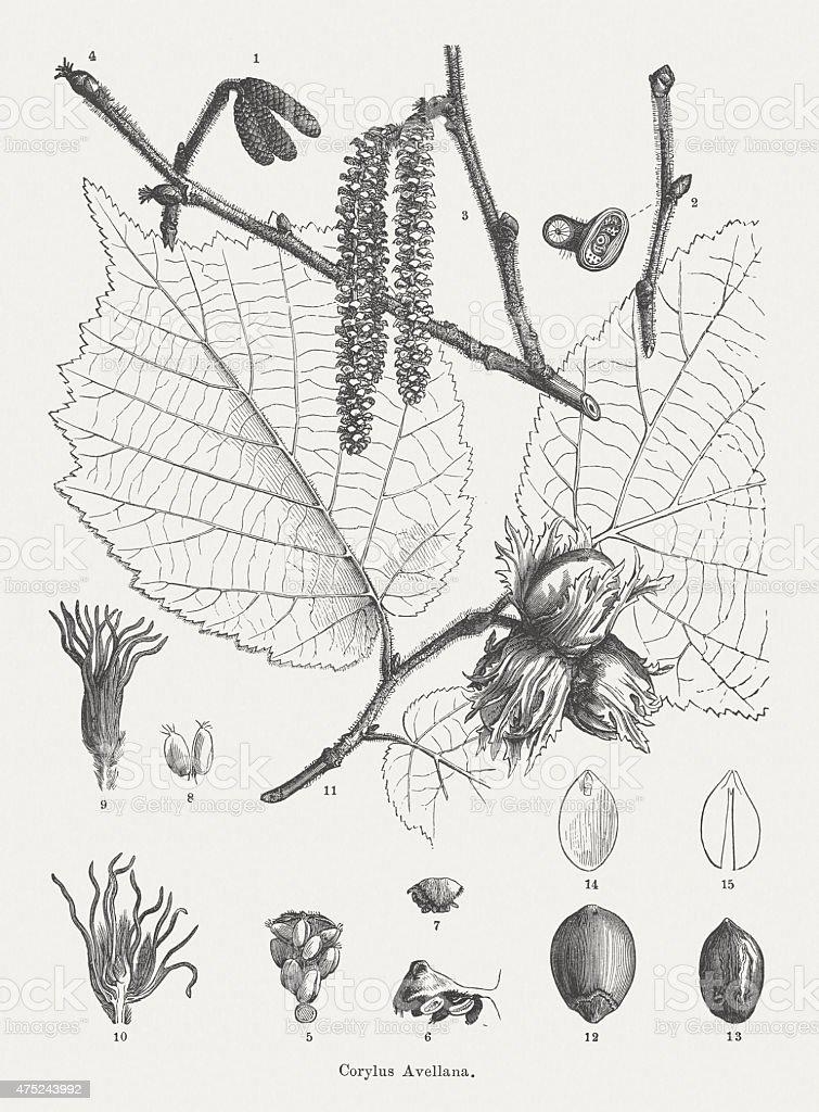 Hazel, published in 1876 vector art illustration