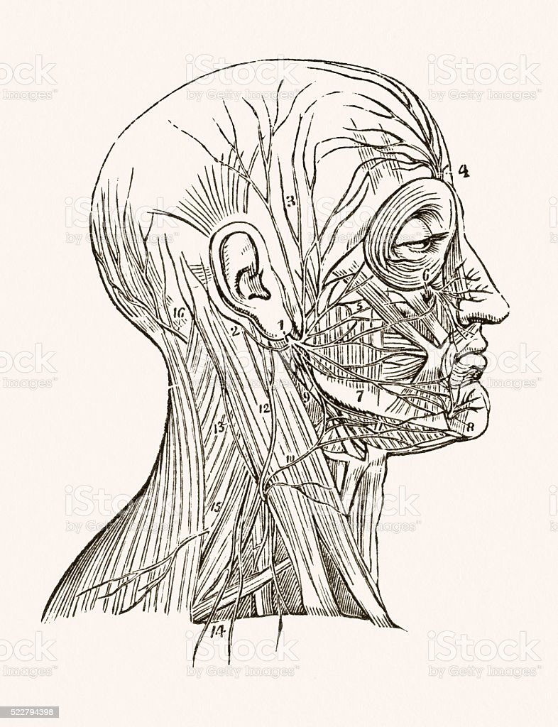 схема кости лица с выходом нервов