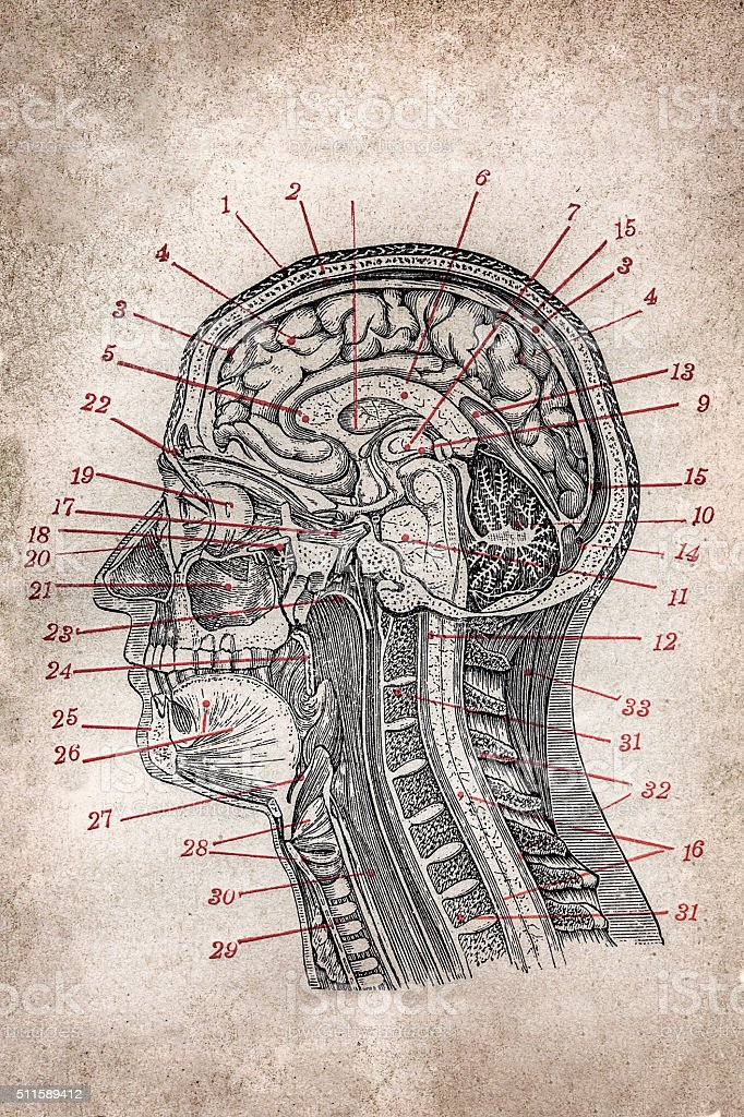 Head section vector art illustration
