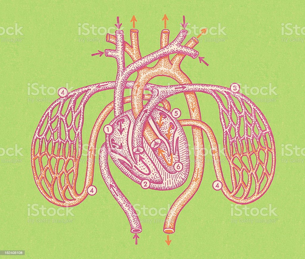 Heart and Arteries royalty-free stock vector art