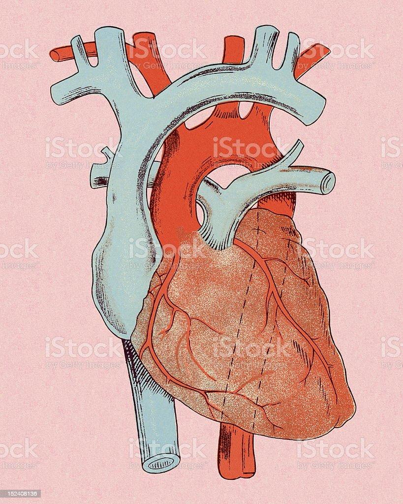 Heart Diagram royalty-free stock vector art