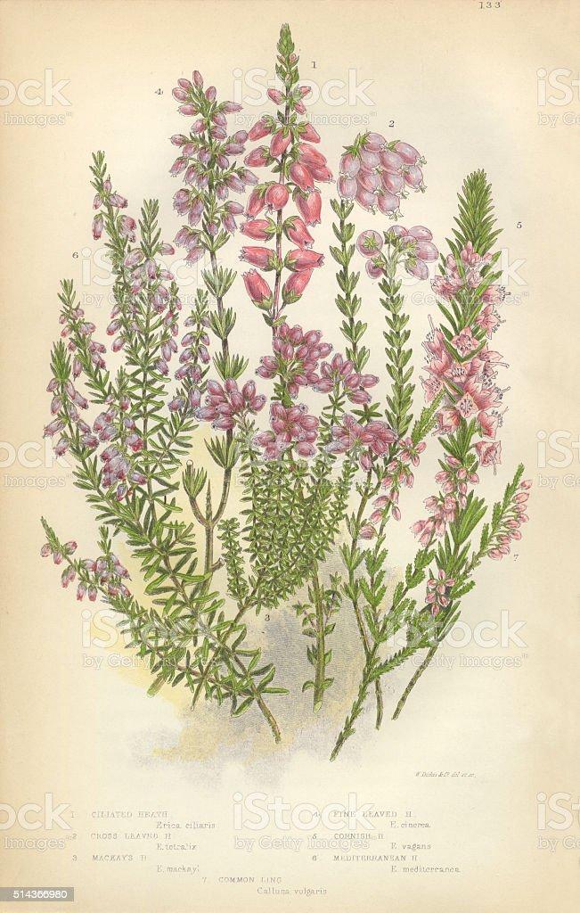 Heath, Heather, Ling, Scotland, Victorian Botanical Illustration vector art illustration