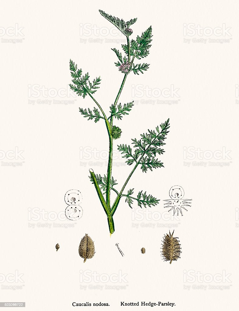 Hedge parsley plant scientific illustration vector art illustration