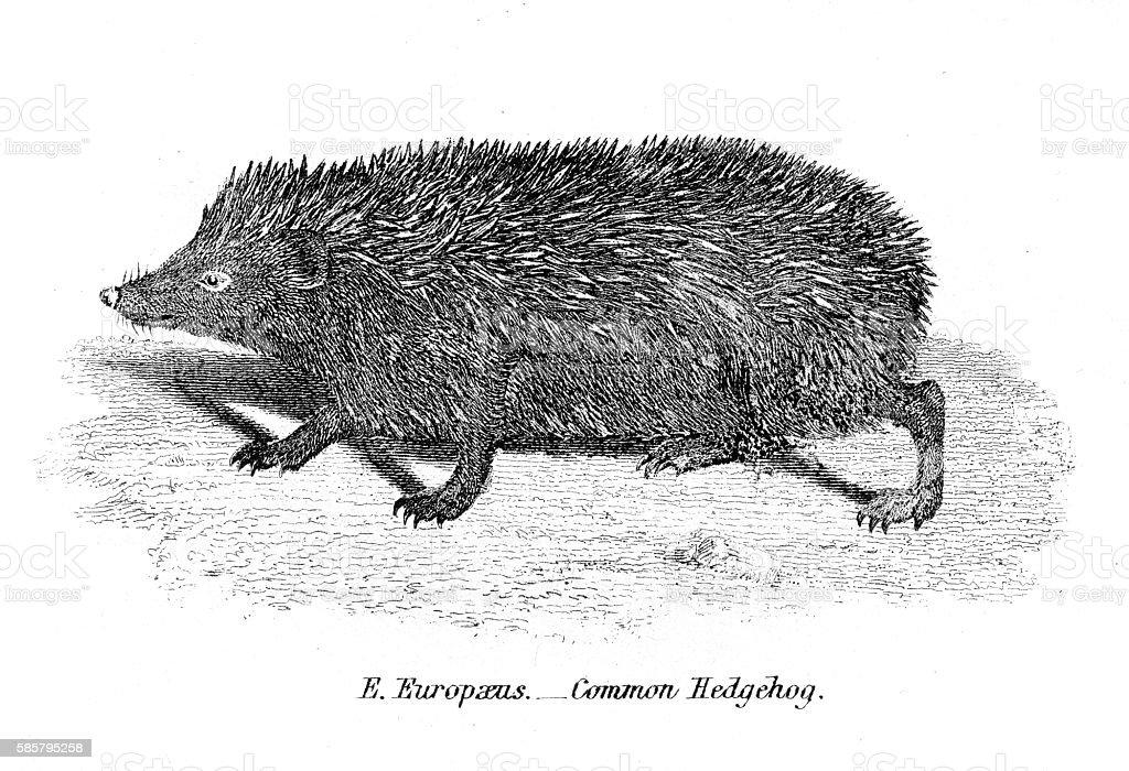 Hedgehog engraving 1803 vector art illustration