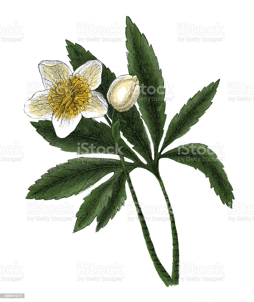 Helleborus niger (antique botanical engraving) stock photo