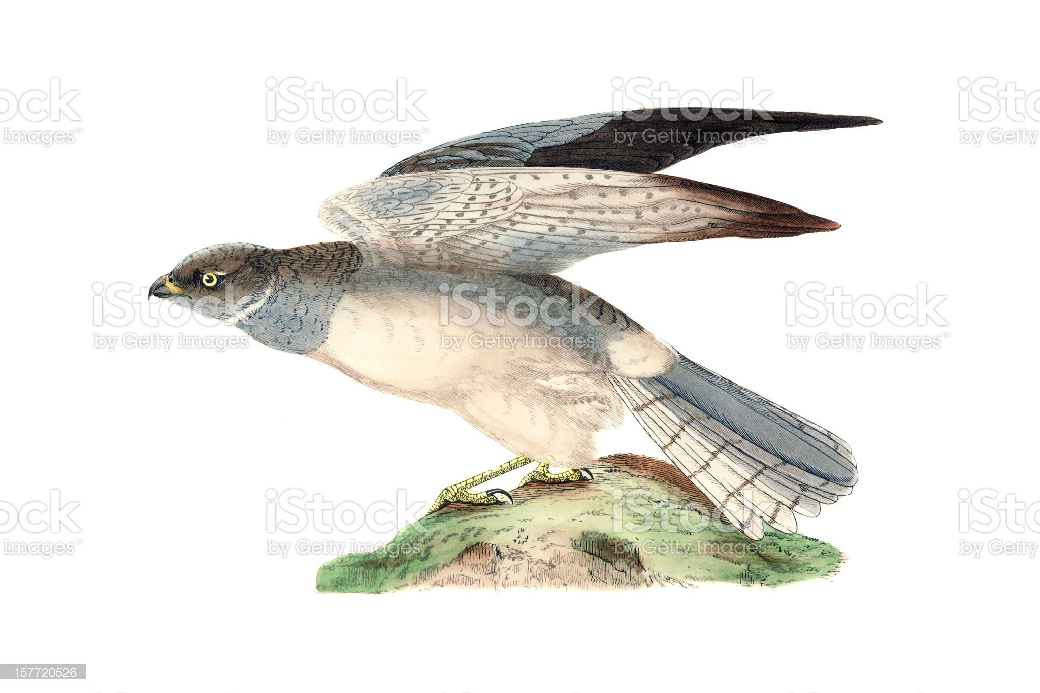 Hen Harrier - Hand Coloured Engraving royalty-free stock vector art
