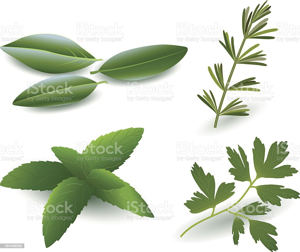 Herbs ( Laurel , Rosemary,Mint, Parsley ) royalty-free stock vector art