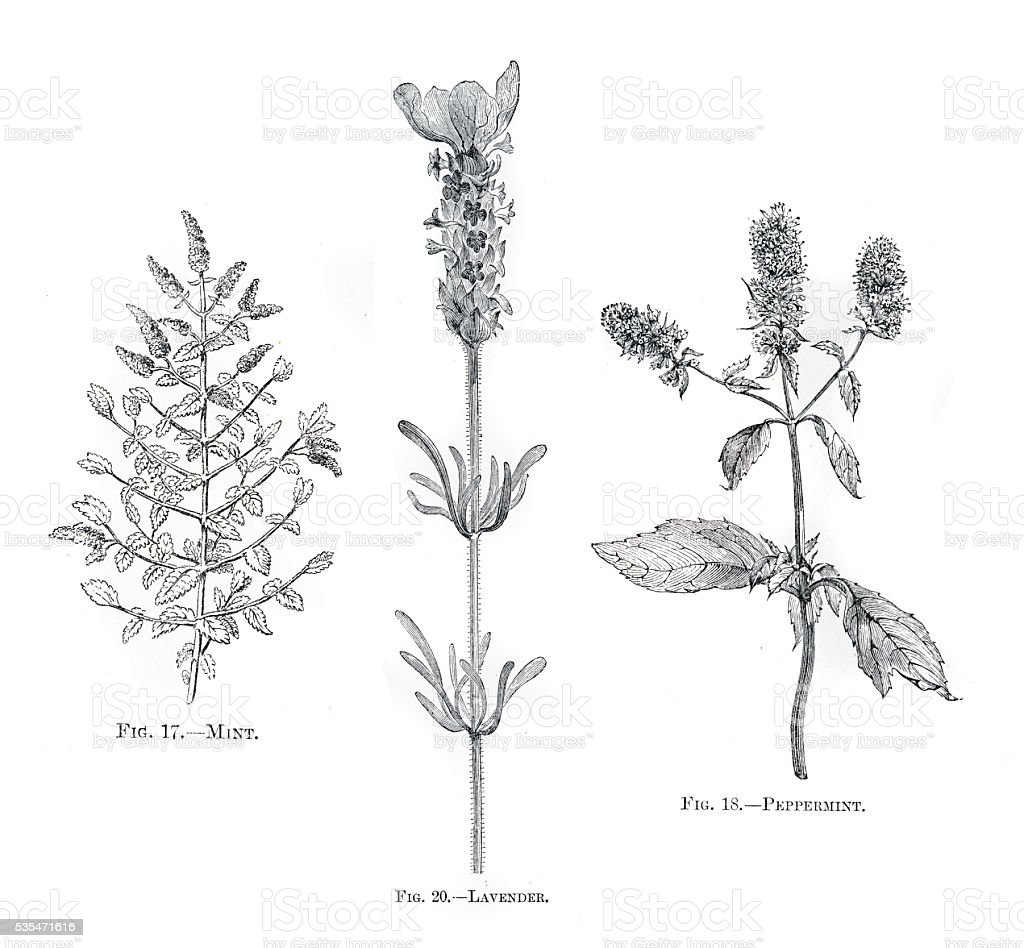 Herbs mint lavender engraving 1898 vector art illustration