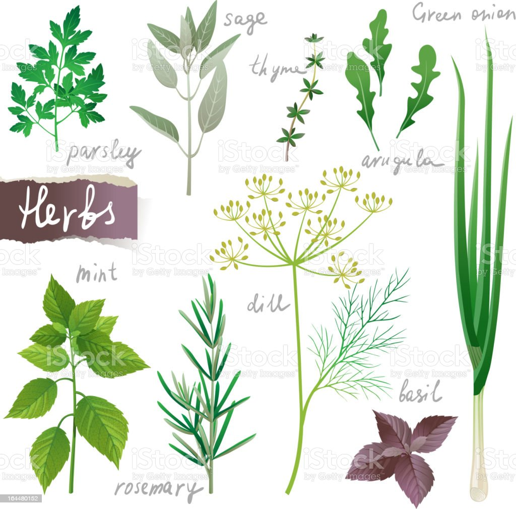 herbs set royalty-free stock vector art