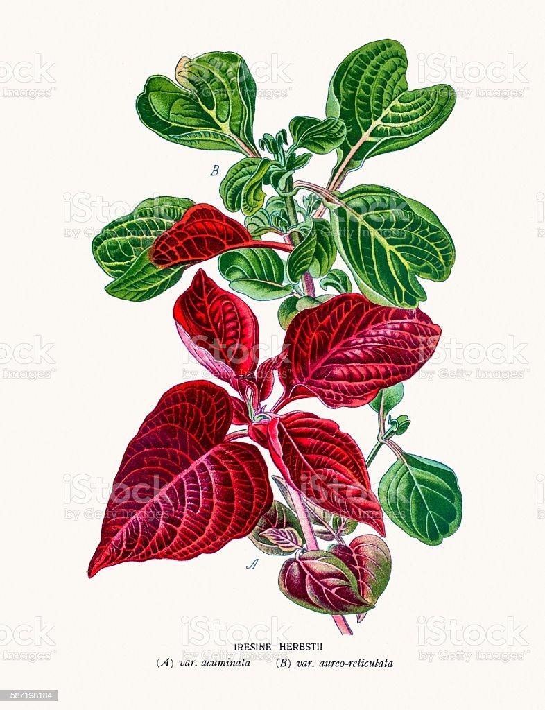 Herbst's bloodleaf vector art illustration