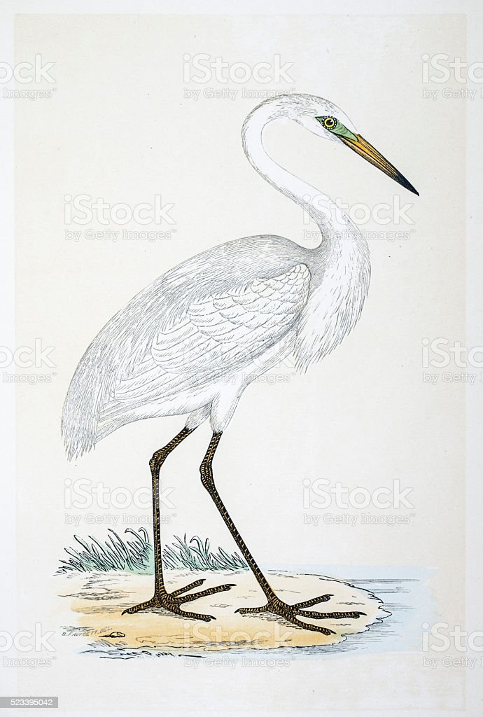Heron bird 19 century illustration vector art illustration