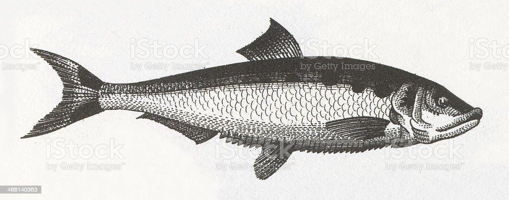 Herring Fish Engraving vector art illustration