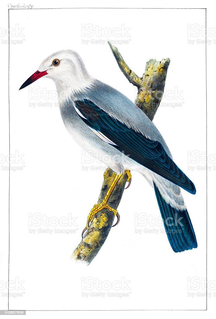 Heterornis Sericea Jay engraving 1856 vector art illustration