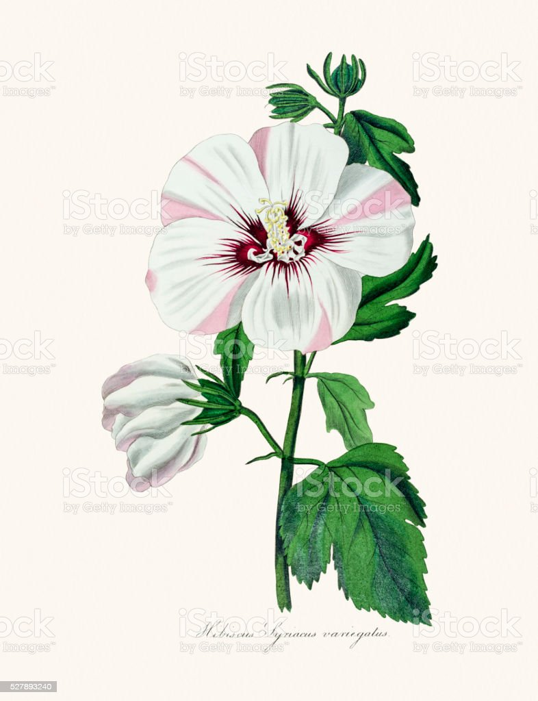 Hibiscus 19th century illustration vector art illustration