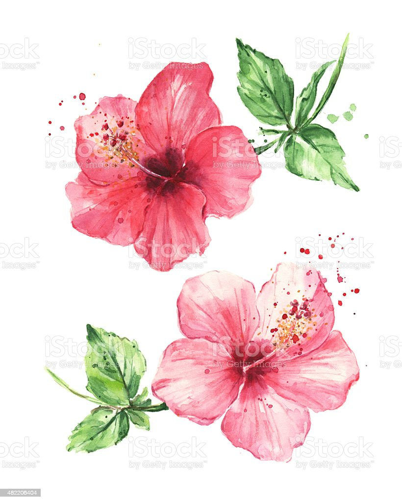 Hibiscus flowers, Watercolor painting vector art illustration