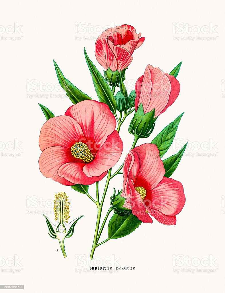 Hibiscus Rose flower vector art illustration