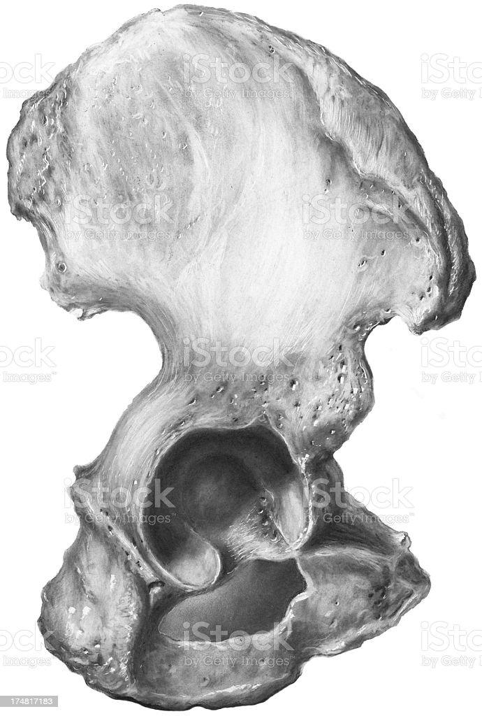 Hip - Pelvic Bone, Os Innominatum vector art illustration