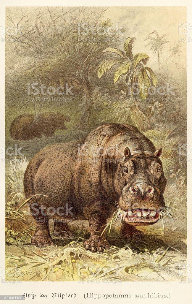 Hippopotamus illustration 1888 vector art illustration