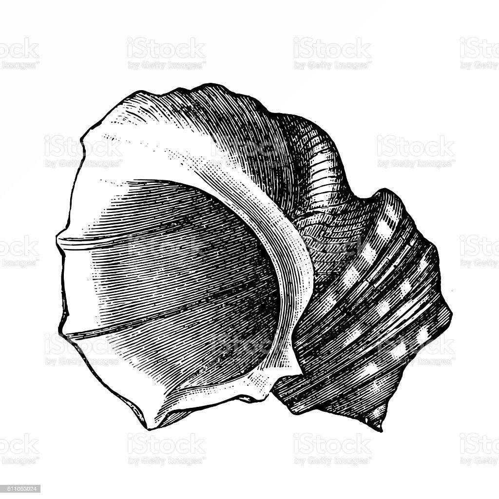 Hone shell (lima squamosa) vector art illustration