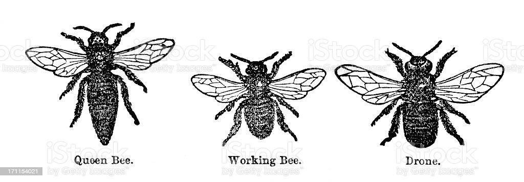 honey bee engraving royalty-free stock vector art