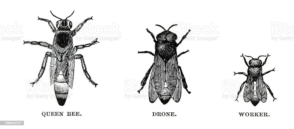 honey bees engraving vector art illustration