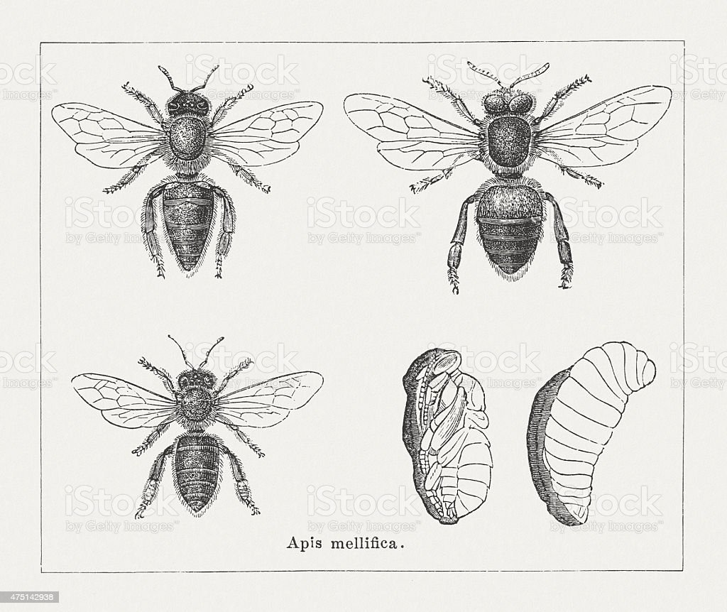 Honeybee (Apidae mellifica), wood engravings, published in 1876 vector art illustration