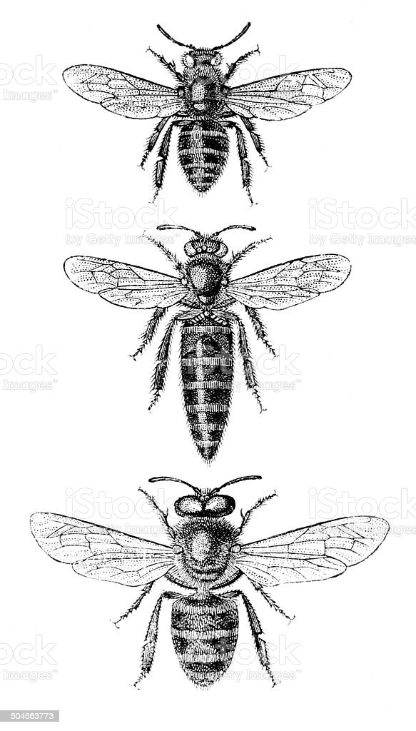 Honeybee worker bee queen and drone illustrations vector art illustration
