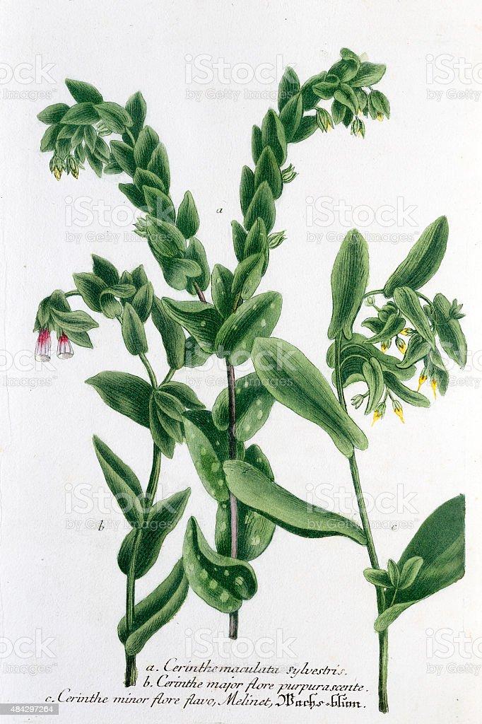 Honeyworts,  a 18th century botanical illustration vector art illustration