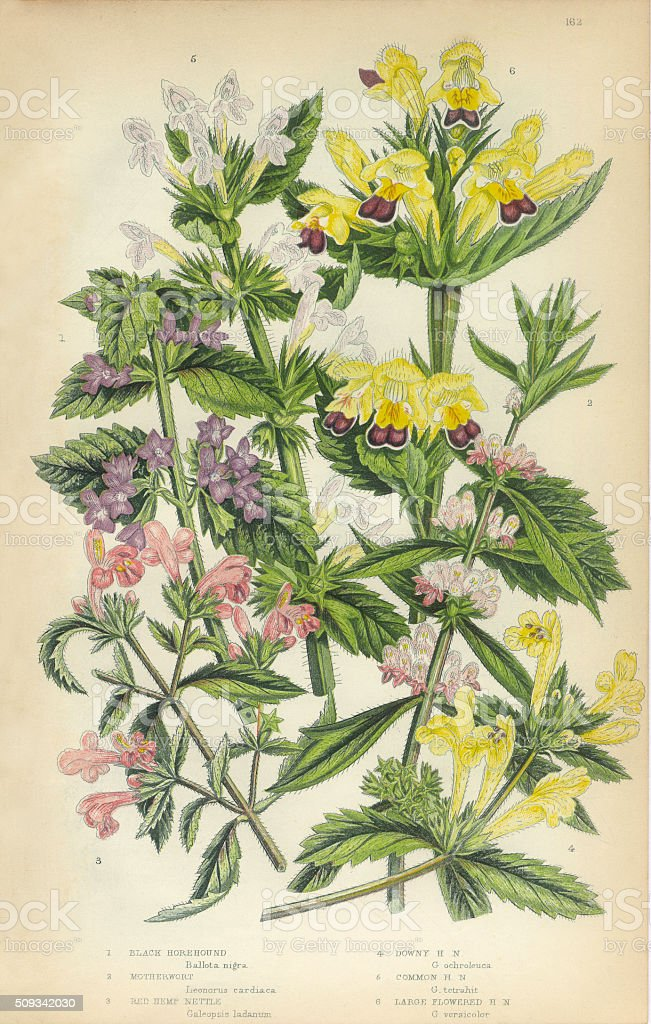Horehound, Lamiaceae, Motherwort, Nettle, Stinging Nettle, Hemp, Victorian Botanical Illustration vector art illustration