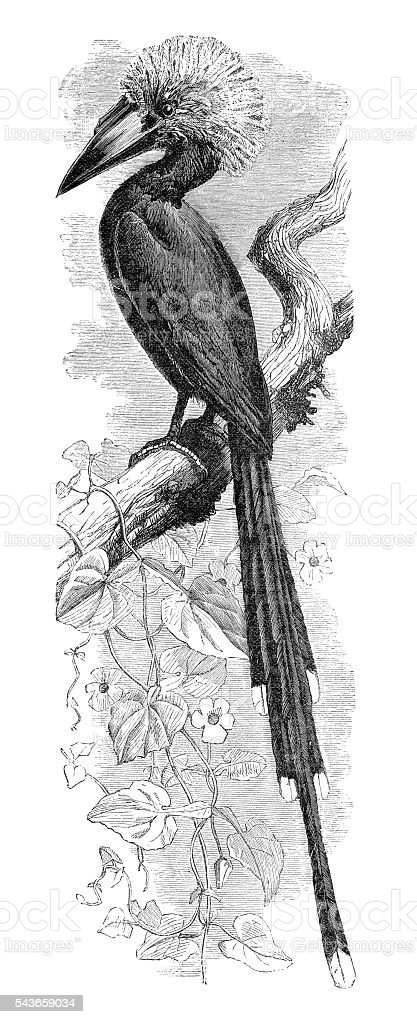 Hornbill white-crested bird engraving 1880 stock photo