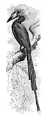 Hornbill white-crested bird engraving 1880