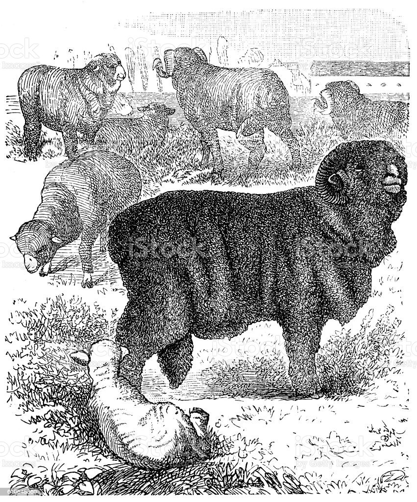 Horned Merino sheep (ram) vector art illustration