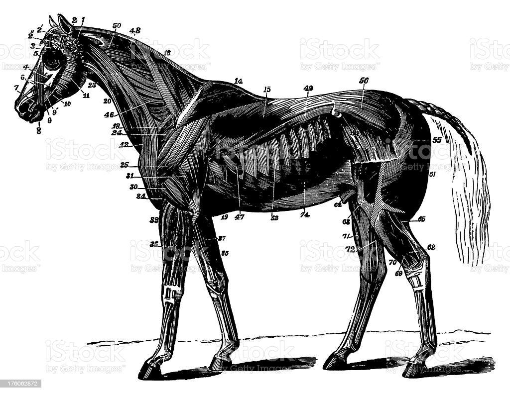 Horse | Antique Animal Illustrations vector art illustration