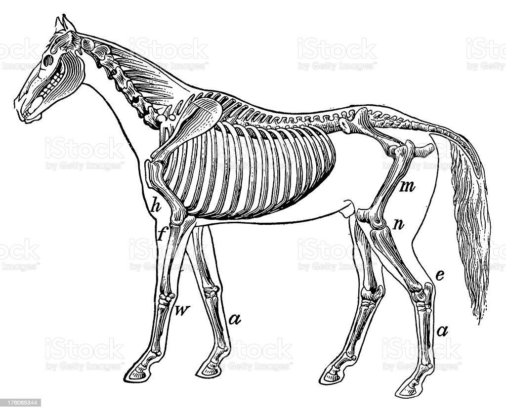 Horse skeleton | Antique Scientific Illustrations royalty-free stock vector art