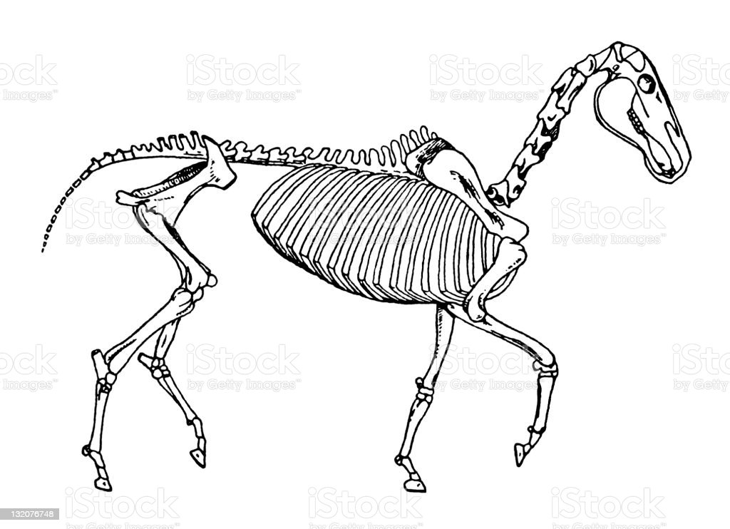 Horse Skeleton royalty-free stock vector art