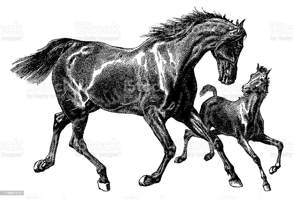 Horses | Antique Animal Illustrations royalty-free stock vector art