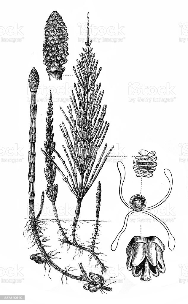 Horsetail plant (Equisetum Sylvaticum) vector art illustration