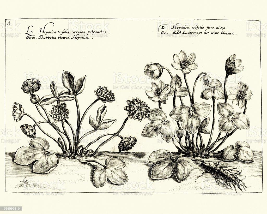 Hortus Floridus - Hepatica vector art illustration