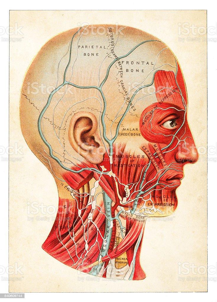 Human Anatomy illustration 1891 vector art illustration