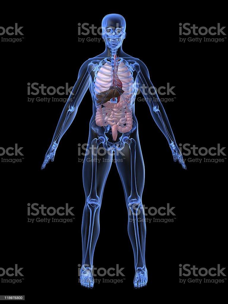 human anatomy royalty-free stock vector art