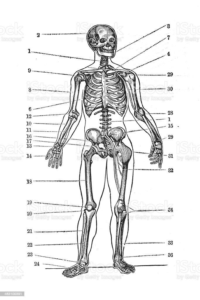 Vistoso Imágenes De Anatomía Humana Libre Fotos - Imágenes de ...