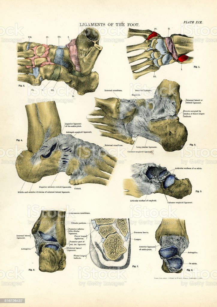 Human Anatomy - Ligaments of the Foot vector art illustration