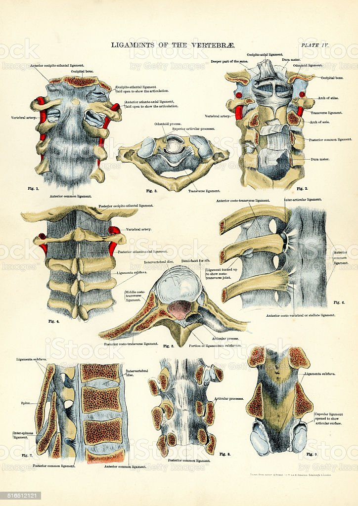 Human Anatomy - Ligaments of the Vertebrae vector art illustration