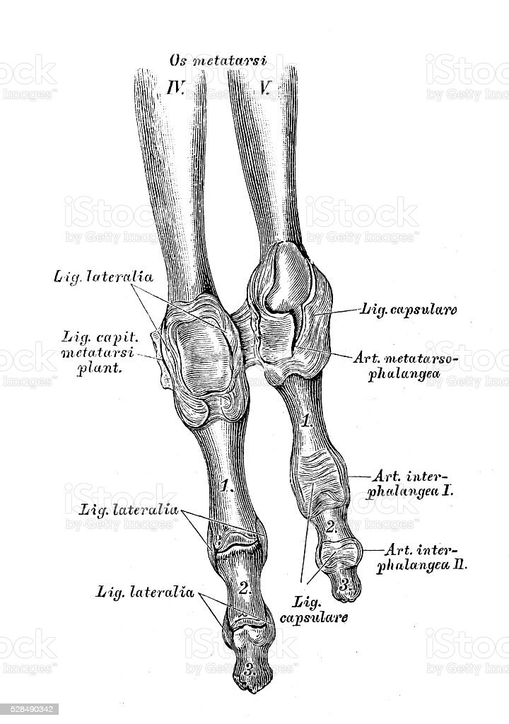 Human anatomy scientific illustrations: 4th and 5th foot fingers vector art illustration