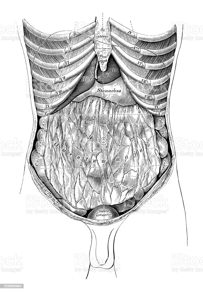 Human anatomy scientific illustrations: Abdomen map vector art illustration