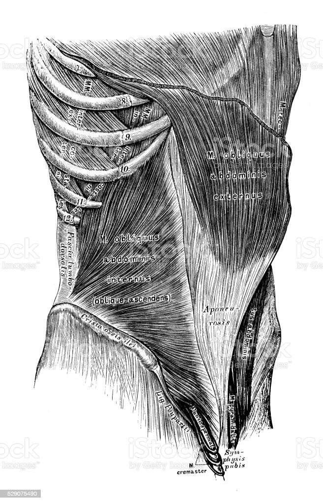Human anatomy scientific illustrations: Abdomen muscles vector art illustration